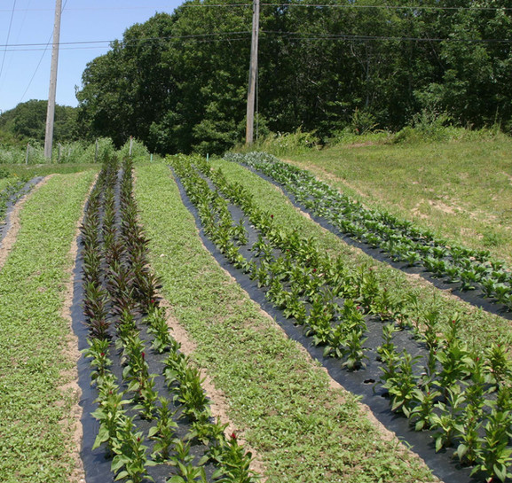 Rows and rows of fabulous crops