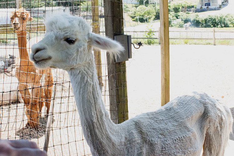 Check out our Alpaca goods in our farm store.