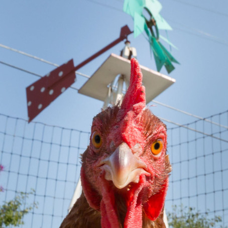 City Sprouts in the News: Shannon Gennardo Interviewed about Backyard Chickens