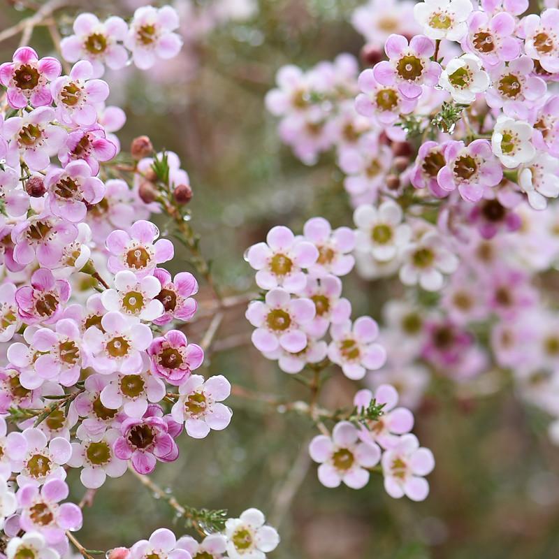 Waxy Way, A Cut Flower Garden