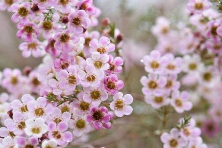 Waxflower-2020d.jpg