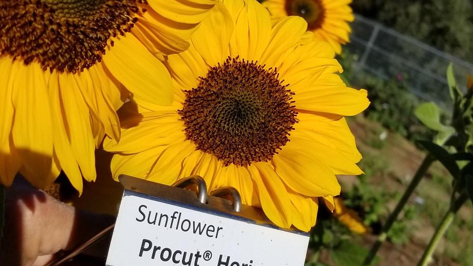 SunGarden-SunFlower1.jpg