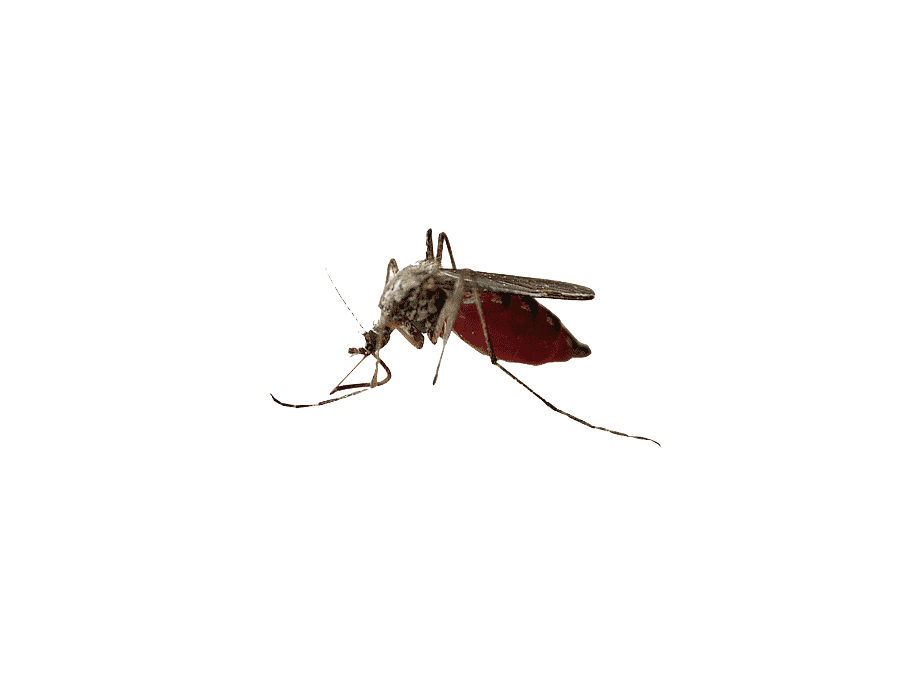 mosquito-insect-pollinator-fly-membrane-