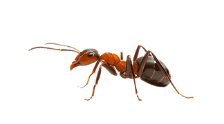 png-clipart-insect-the-ants-weaver-ant-p