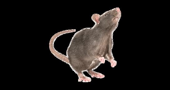 60-603010_standing-rat-transparent-png-p