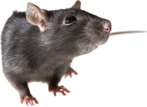 mouse-rodent-black-rat-png-favpng-iwaGhK