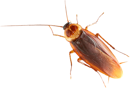 roach_PNG12164.png
