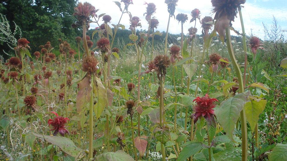 Monarde(Thé rouge) fleurs : 10 g