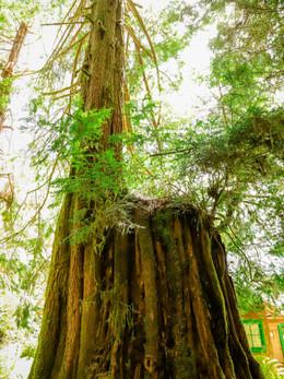 redwoods2019_web-82.jpg