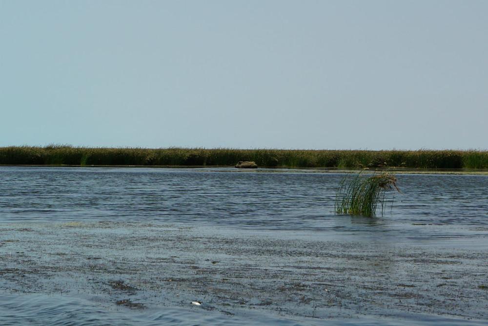 野生のイノシシ カスピ海