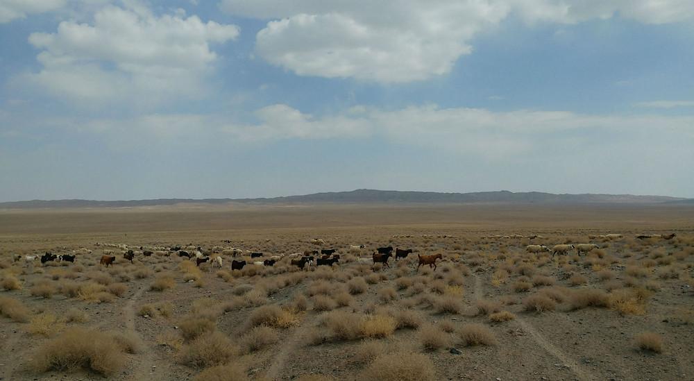 ネフバンダーン近郊 草原と山羊と羊の群れ