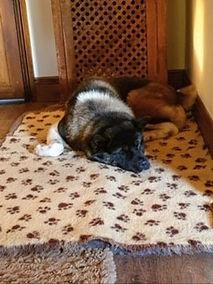 samson, adopted rescue Akita
