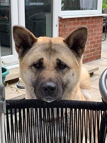 Alexus, adopted rescue Akita