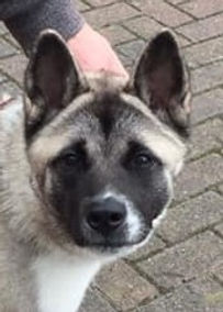 storm, adopted rescue Akita