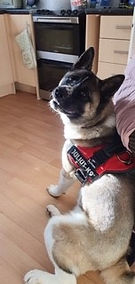 wolfie, adopted rescue Akita