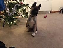 Daisy, adopted rescue Akita