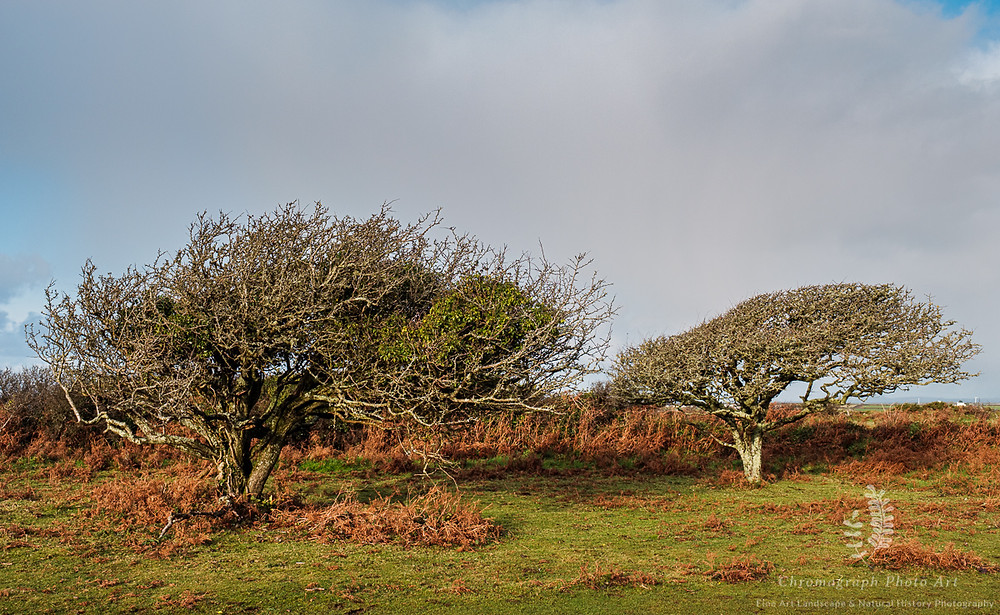 Two old hawthorn trees