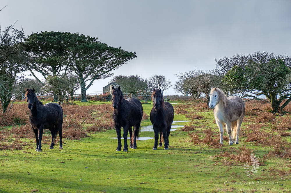 Four Dartmoor Ponies, one grey, the rest black