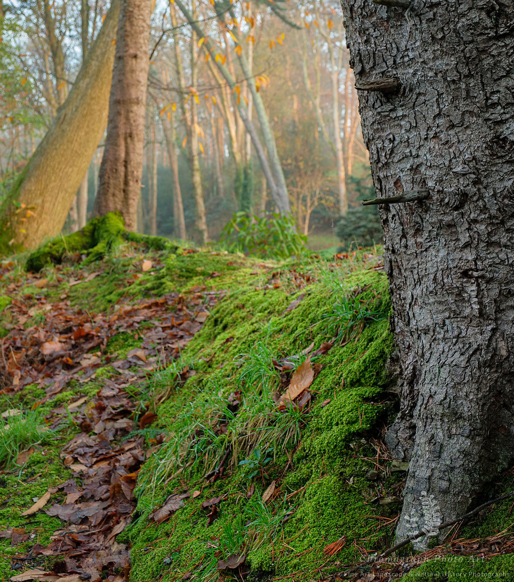 Tree trunk with moss in the foreground leading to more trees and mist in the background