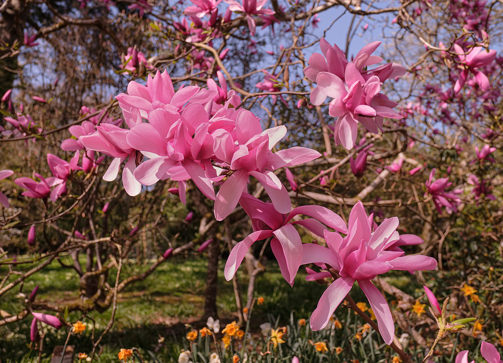 Hybrid Magnolia tree covered in large pink blooms