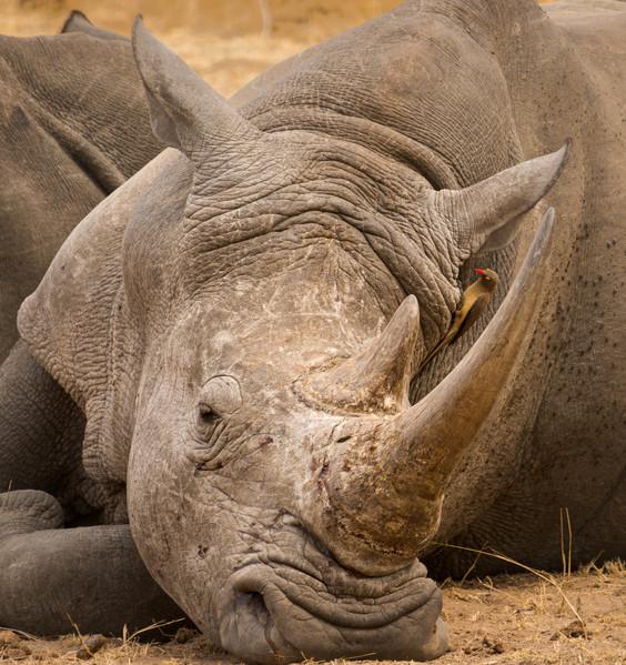 White Rhino and Red-Billed Oxpecker.jpg