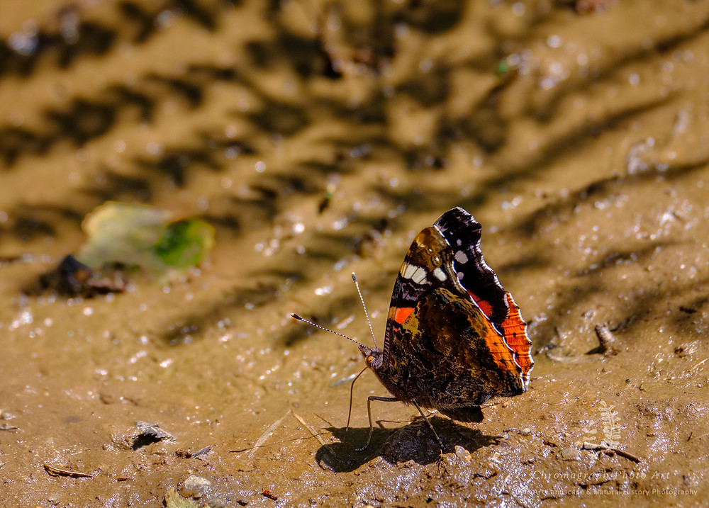 Red Admiral Butterfly at rest on a mud patch feeding or looking for moisture