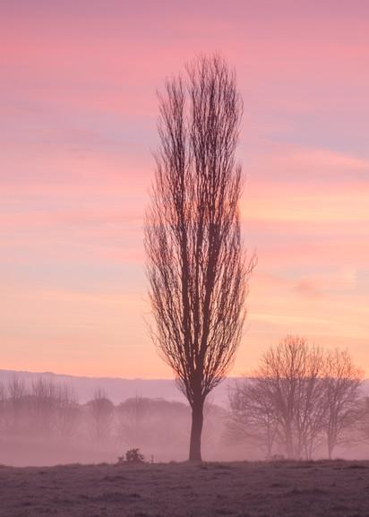 Trewithen Tree