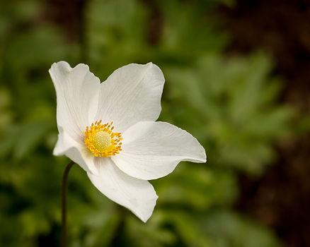Anemone sylvestris.jpg