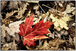 Fallen Maple Leaf