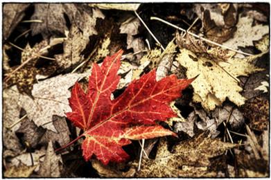 Fallen Maple Leaf