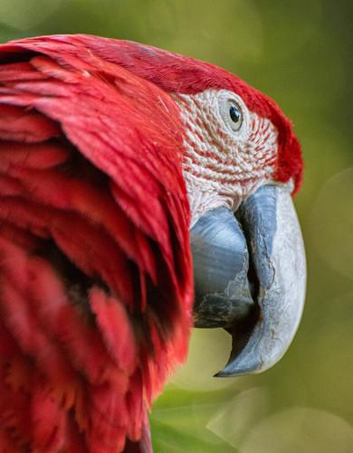 Magnificent Parrot.jpg
