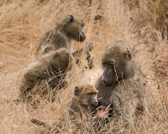 Baboon Troupe.jpg