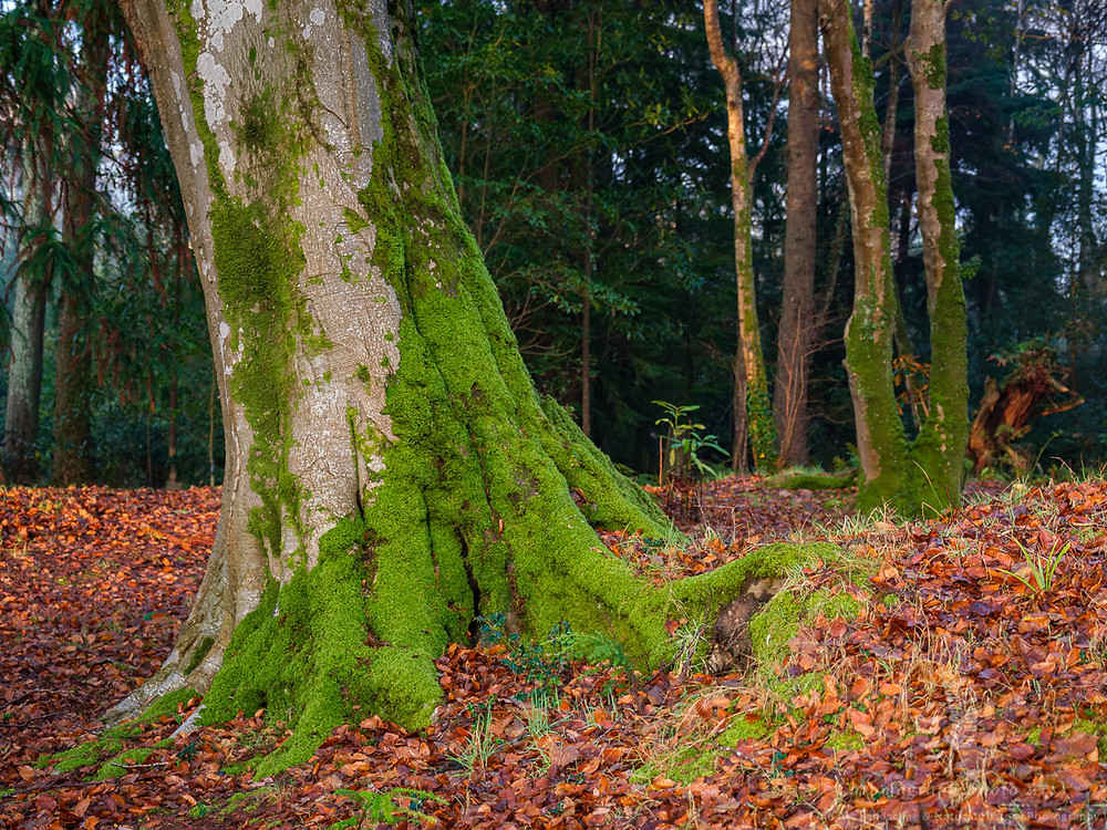 a large mature Beech tree wrapped in moss on its lower half with fallen leaves all around