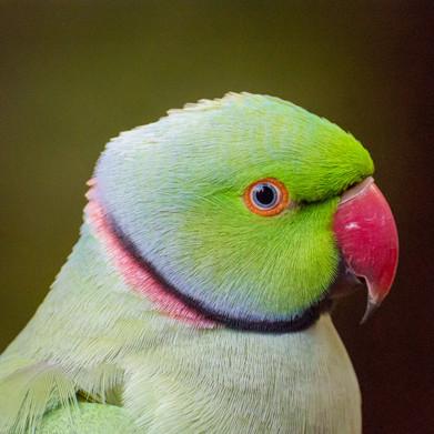 Colourful Parrakeet.jpg