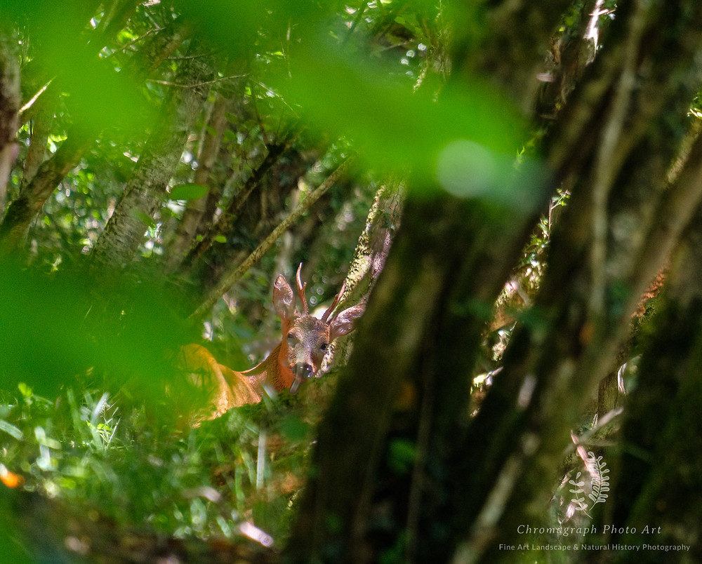 Young Roe Deer Buck just visible through dense woodland.