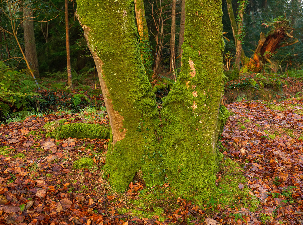 Beech tru inks covered in moss with an ancient rotting stump beyond.