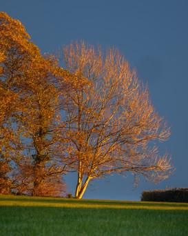 Tregrehan Tree