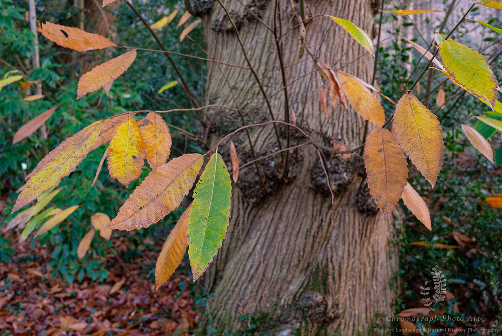 leaves from a Sweet Chestnut in autumn