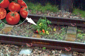 Tomatoes Growing Under Train Tracks