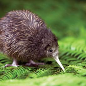 Kiwi Chic