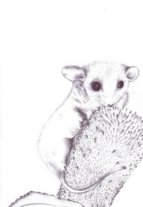 Pigmy Possum
