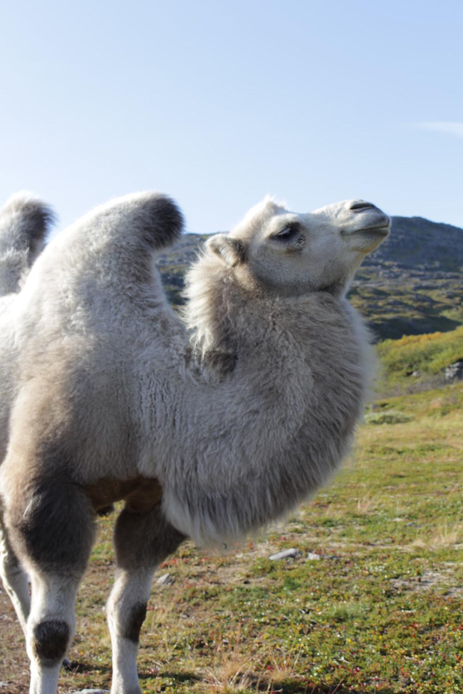 Satisfied Camel