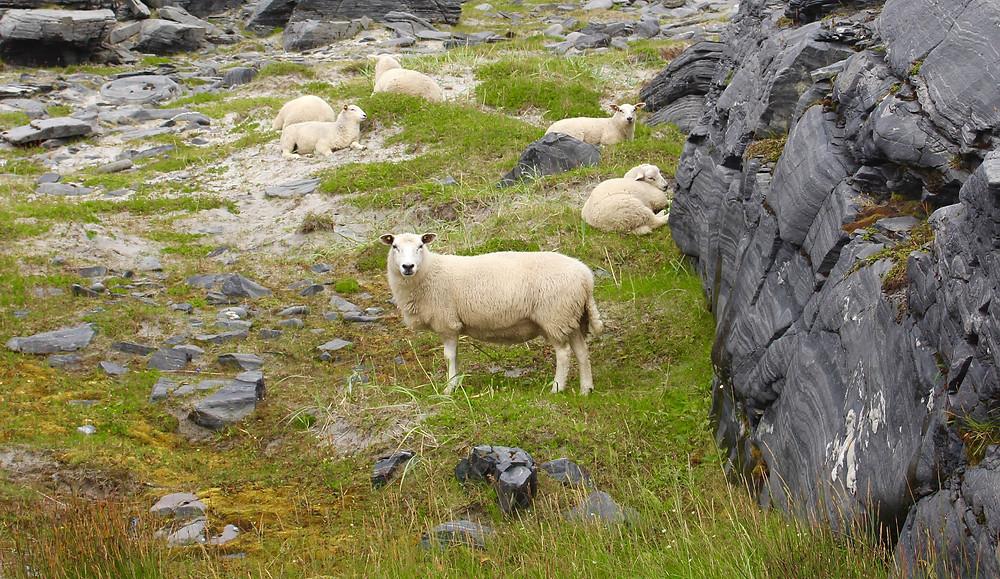 An unhelpful sheep.
