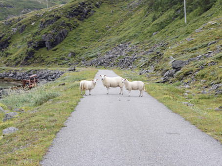 Ode to (arctic) Sheep