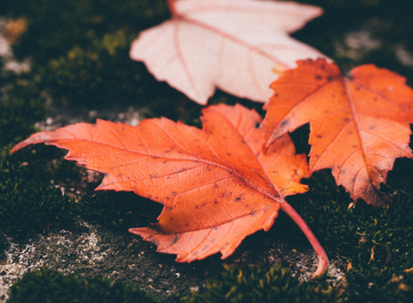 Red Maple Anti-Aging Properties