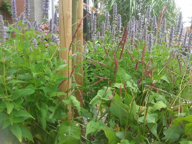 Beplanten van een voortuin (op de foto een combinatie van Persicaria en Agastache)