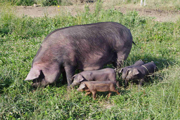 Mom and Piglets