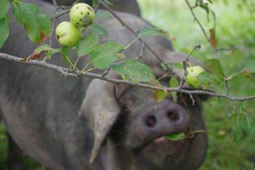 Large Black Eating Apple Tree