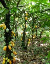 Cacao trees in Samoa