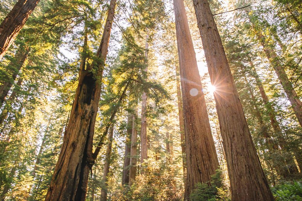 Lady Bird Johnson Grove, Redwoods